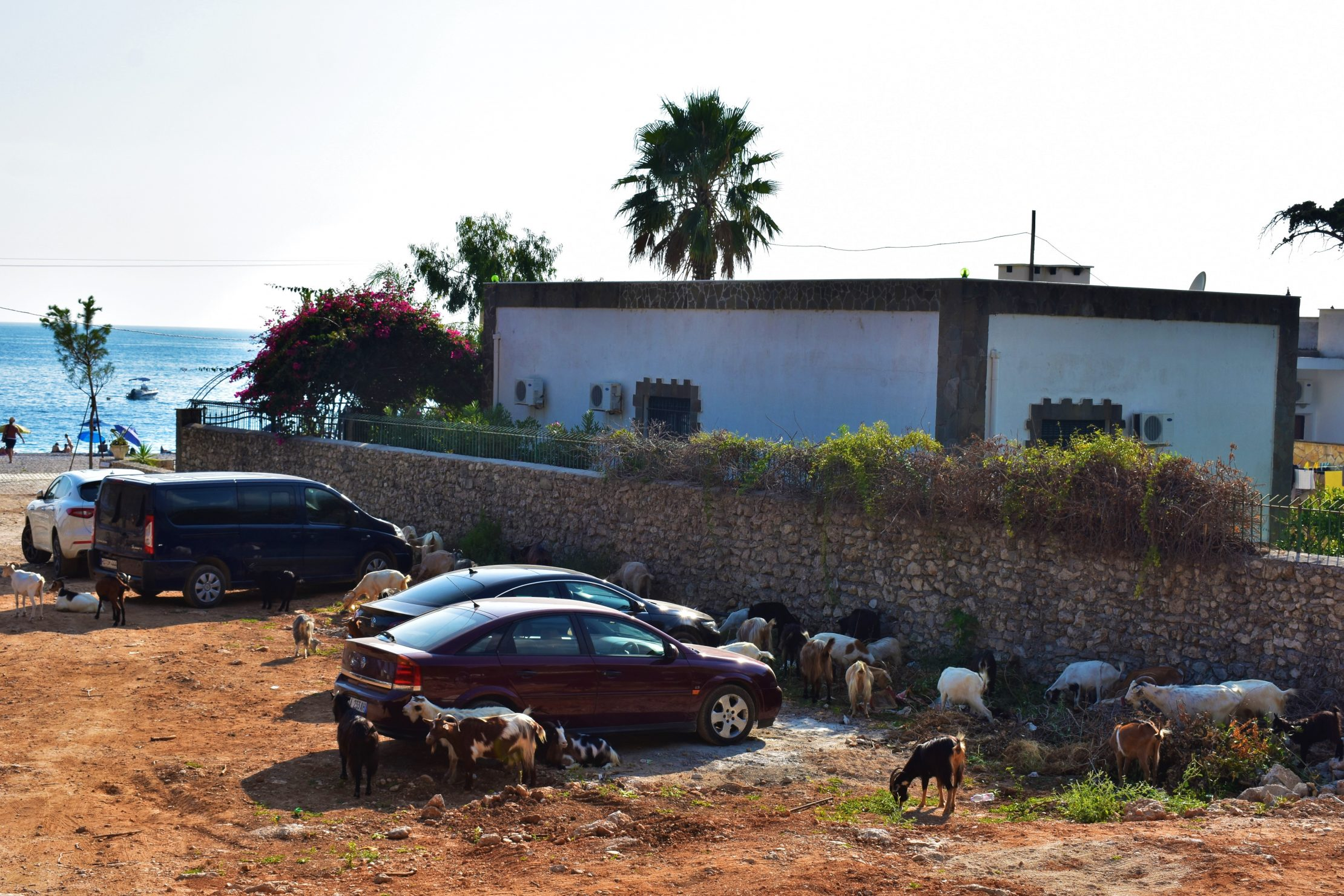 Goats in Albania - Parking Goats Guardians