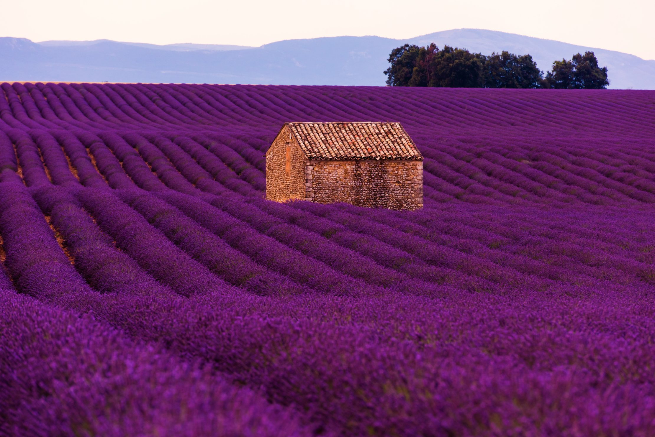 Iconic lavender fields of Provence, France look like an impressionist painting