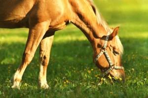 Grazing Horse full size
