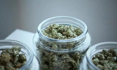 Cannibis - Marijuana buds - unsplash