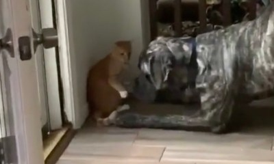 Cat outsmarts dog
