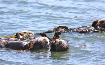 Sea otter decline accelerating effects of climate change