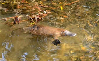 The Weird and Wonderful Platypus