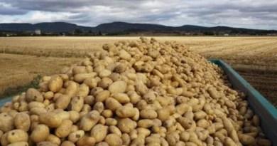 Mercadona compra 630.000 kilos de patata de Álava, un 21% más que la anterior,