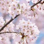 桜を見ると若返る!