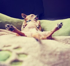 cute chihuahua taking a nap with his legs spread eagle on a pet bed toned with a retro vintage instagram filter effect app or action