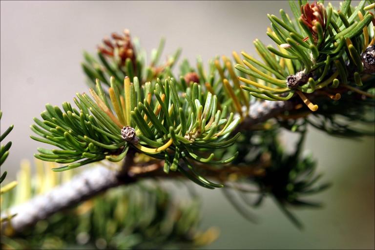 pine-branch4