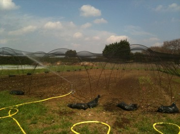 after planting salads we water the area we place nets to cover the salad beds for safety and place sand bags to hold the net in place