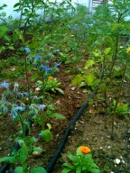 drip irrigation system for tomatos inside polytunnel