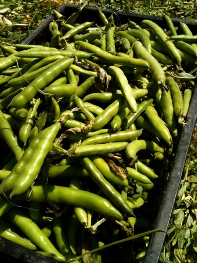 Broad beans harvest at SCF