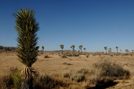 Driving through the Joshua tree national park