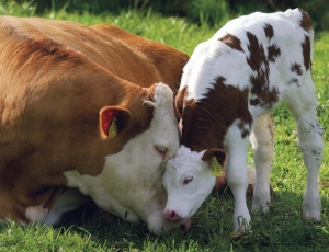 Lita på en ko