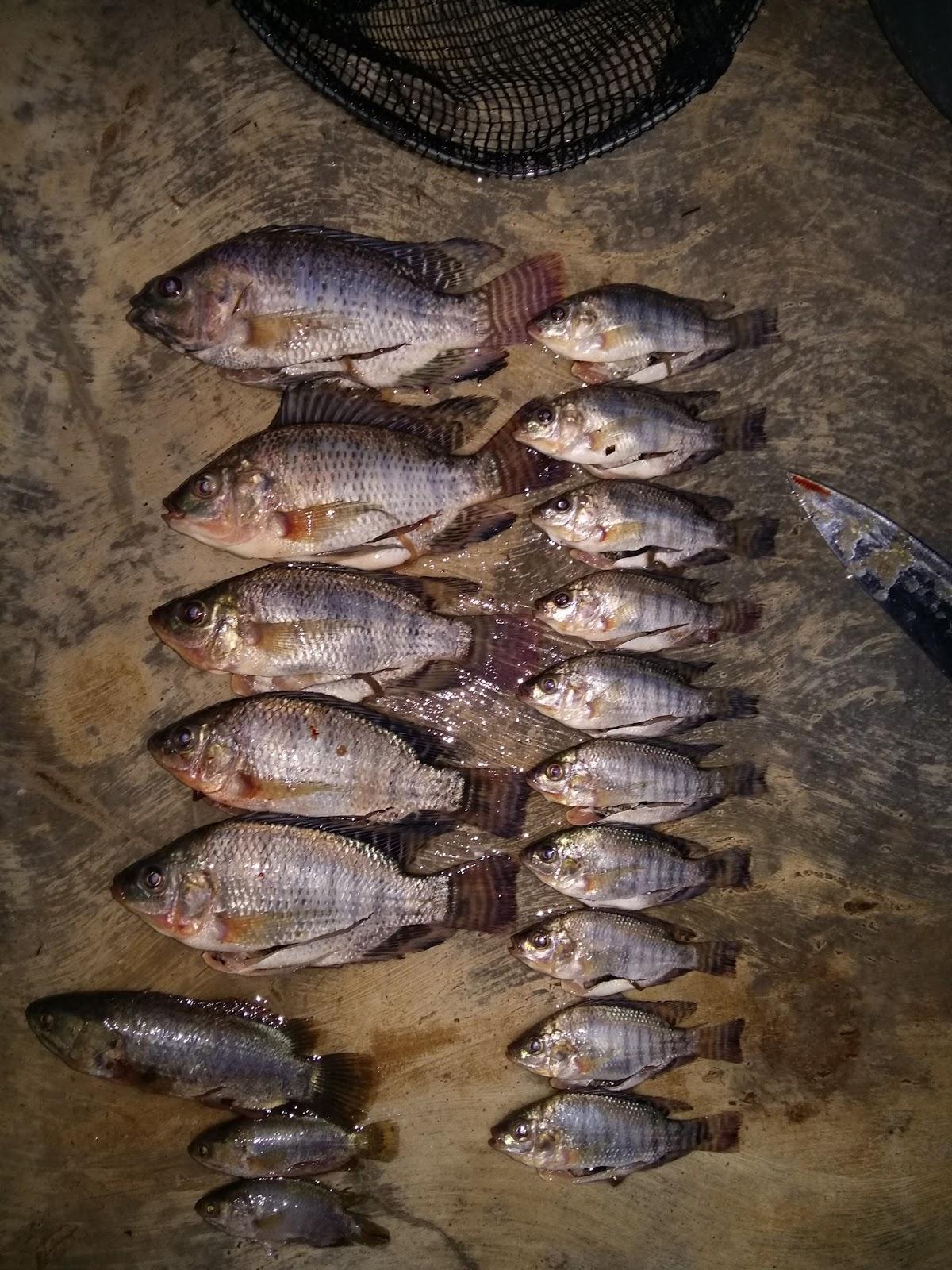 Umpan Ikan Nilem Babon Paling Ampuh Andalan Para Juara