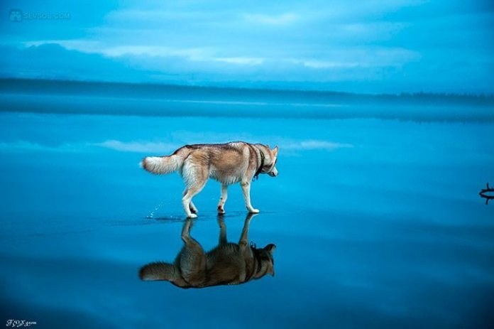 husky-paa-speilblank-is-03