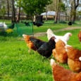 Hybrid Laying Hens