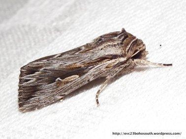 Southern Armyworm, Persectania ewingii (ID P. Marriott)