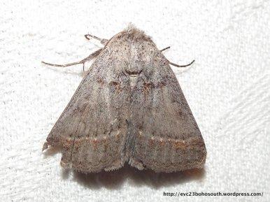 Pantydia sparsa Noctuidae, Catocalinae (ID P. Marriott)