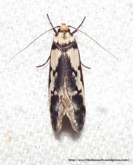 Oecophorinae sp