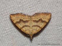 Chrysolarentia correlata (female)