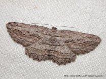 Scioglyptis loxographa subfamily Ennomonae, Family Geometridae