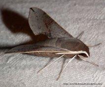 Coprosma Hawk Moth (Hippotion scrofa), Fam. Sphingidae