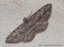 Phelotis cognata (ENNOMINAE, GEOMETRIDAE) (ID P. Marriott)