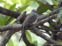 The beautiful Diamond Dove - such a rare visitor to forests and mountains.