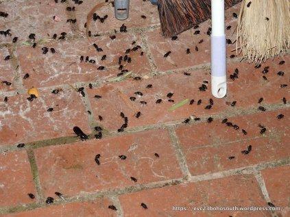 Blackheaded pasture Cockchafers ...
