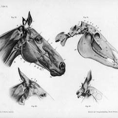 Horse Muscle And Bone Diagram Garmin Mini Usb Wiring George Stubbs Eve 39s Art