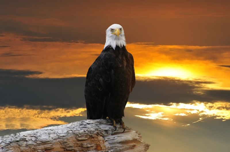 Alaskan Bald Eagle perched on log at sunset