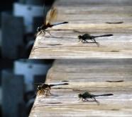 Dragonflies at Twin Lake © Eve Bernhard. November, 2010