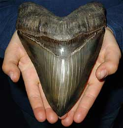 megalodon-tooth