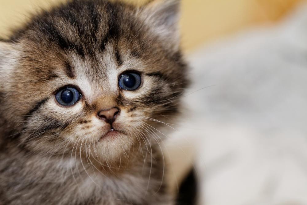 صور قطط صغيرة اجمل قطط صغيرة في العالم مساء الورد