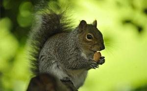 squirrel_1522169c