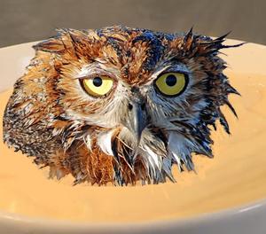 custard owl