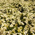 White petunia event plants hire melbourne