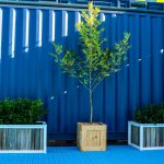 Eco box tree buxus event plants melbourne hire