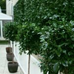 Topiary lily pilly green wall white picket fence