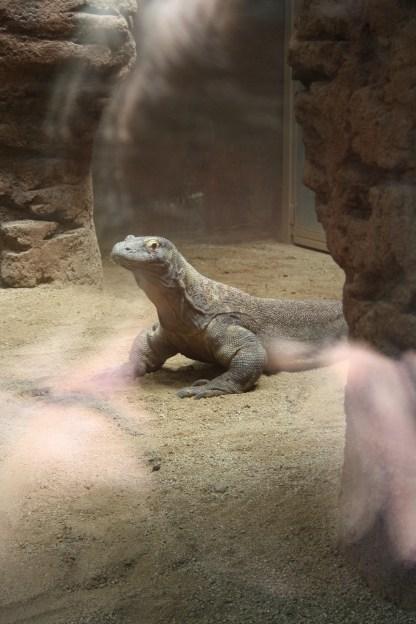 Komodovaranen i Barcelona Zoo