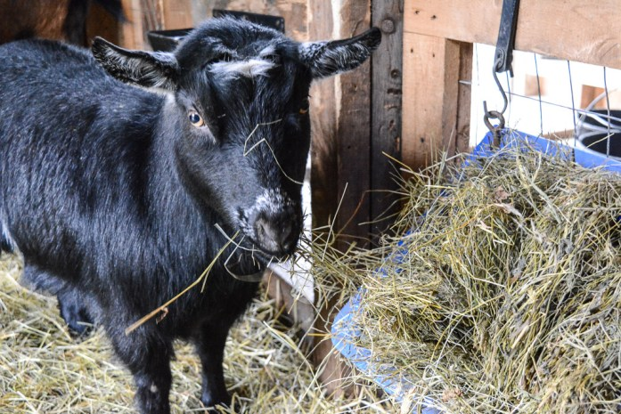 20150102_animals_goats_002_blogcopy