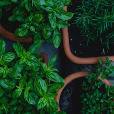 Cultivating Herbs With The Cycle of the Moon