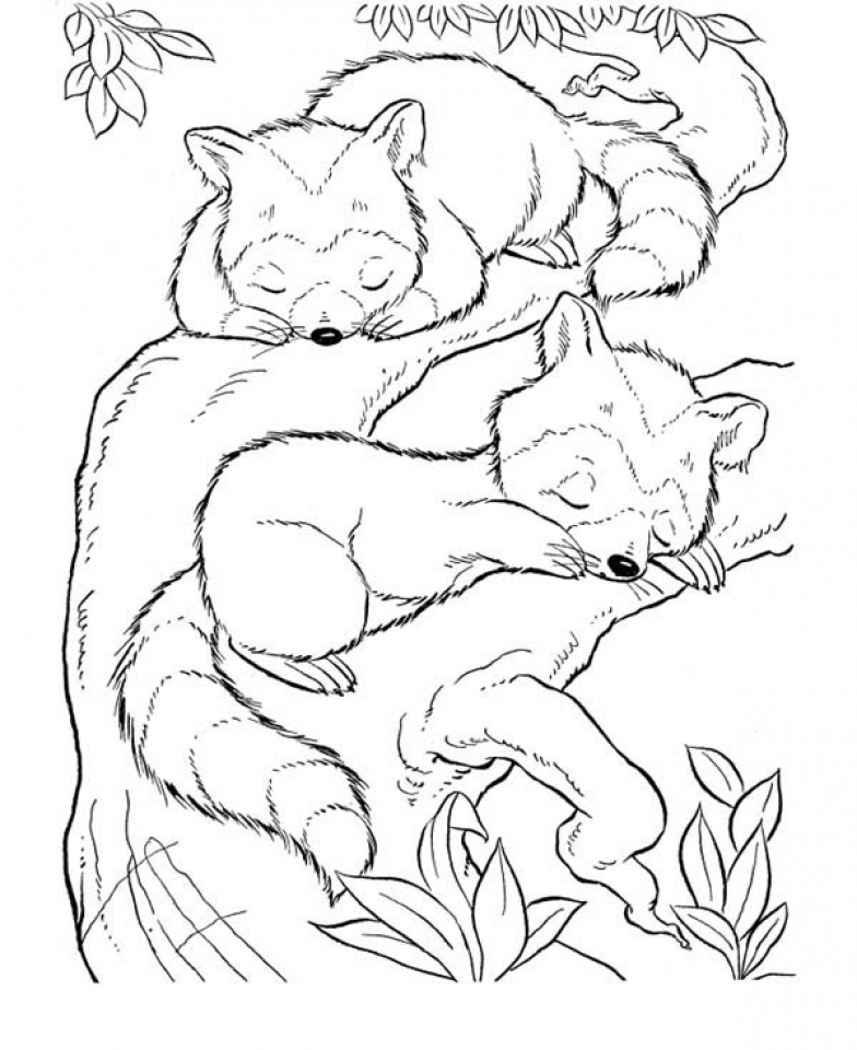 Raccoon Coloring Pages Free Printable   01108