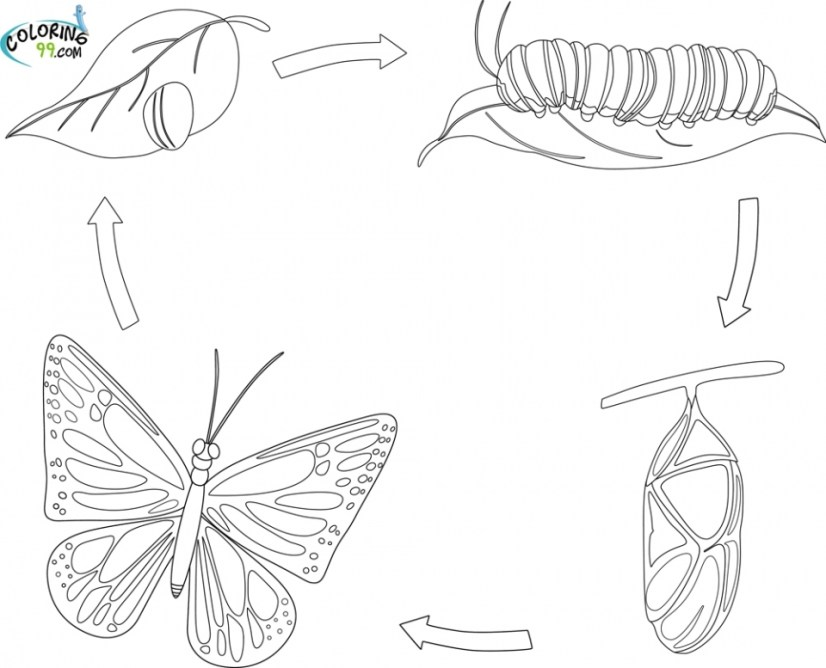 coloring pages butterfly life cycle 2jg09