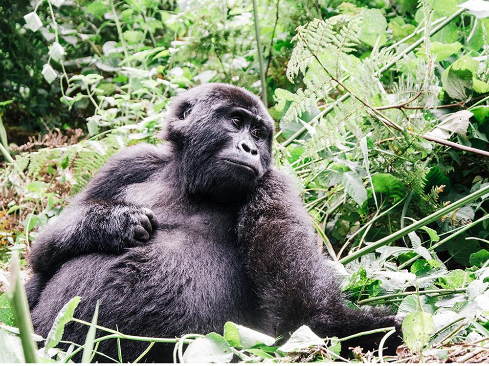 Gorilla in Bwindi Park, Uganda