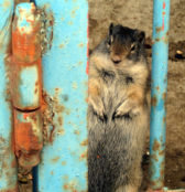 AnnZimmerman Ghetto Ground Squirrel L1runup