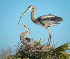 Betty-Holling-great-blue-herons-L2runup
