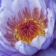 KSnead Water-Lily-Closeup-RCrunup