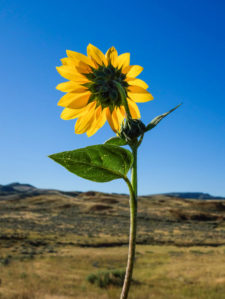 lwinters-Dahl-sunflower1B0819