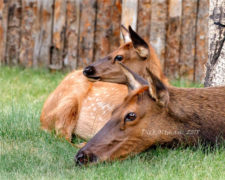 -Dick Oltman - Elk Mom with Child