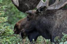 Dave-Edwards Colorado-bull-moose
